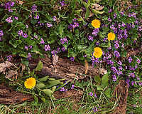 Violets (Viola sp.) and Dandelions (Taraxacum officinale) in flower; Calhoun County, IL