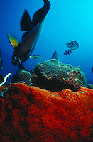 ANGELFISH AND BROWN SPONGE<br /> Luring Angelfish with Bait<br /> A diver attracts an Angelfish's attention with bait. Angelfish are found on shallow reefs in the tropical Atlantic, Indian, and mostly western Pacific oceans.