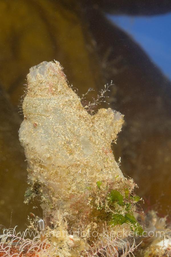 Spritz-Seescheide, Spritzseescheide, Spritz-Ascidie, Spritzascidie, Ascidiella aspersa, Ascidia aspersa, Dirty sea-squirt, Ascidie sale, Ascidie, Ascidien, Seescheiden, Ascidiae, ascidians, sea squirts
