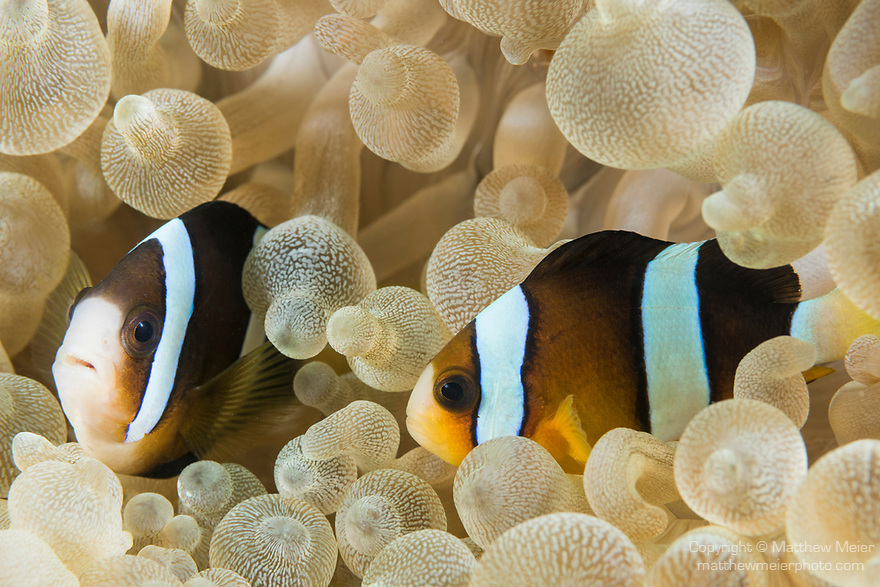 Puerto Galera, Oriental Mindoro, Philippines; a pair of Clark's anemonefish living in a bubble-tip anemone