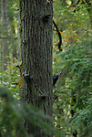 Pileated woodpeckers in Forest Park