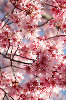 Stock photo - beautiful pink cherry blossom flowers close up filling the frame, vertical.