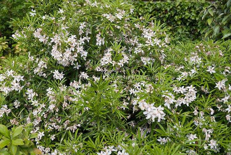 Choisya aztec pearl plant flower stock photography choisya aztec pearl white flowering shrub bush mightylinksfo