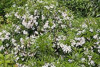 Spring flowering fragrant shrubs stock photos images plant choisya aztec pearl white flowering shrub bush mightylinksfo