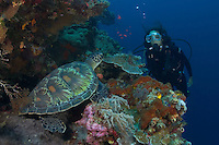 Green sea turtle, Chelonia mydas, and diver (MR). Indonesia.