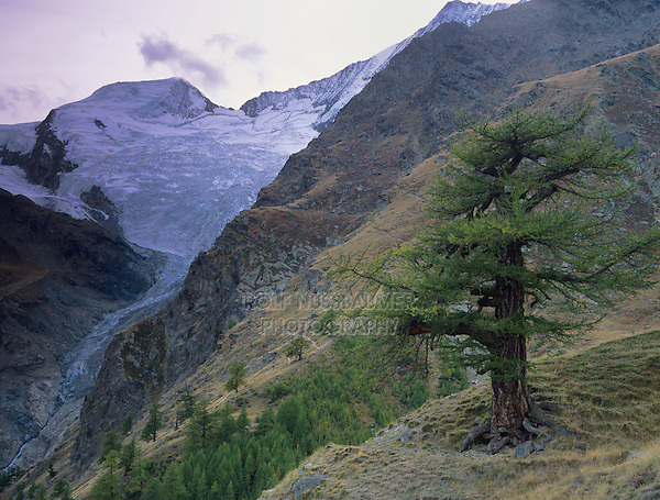 Larch tree and Fee glacier, Saas Fee, Swiss Alps, Switzerland, Europe
