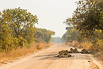 African Lion (Panthera leo) pride on road, Kafue National Park, Zambia