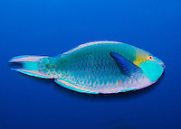 The beautifully colored parrot fish (Scaridae species) is known to change its shape, color, and even gender during its life. Some male parrot fish maintain harems of females. If the dominant male dies, one of the females will change gender and color and become the dominant male. Its powerful mouth can be seen ripping coral from the reef as its diet consists mainly of algae. Yes he looks like a parot because of the beak like teeth. The coloration patterns, which are a classification nightmare, vary greatly even within the same species. I shot this fish in the South Ari Atoll of the Maldives using a super slow shutter speed and a single strobe to make his rich colours look like they were frozen in time.