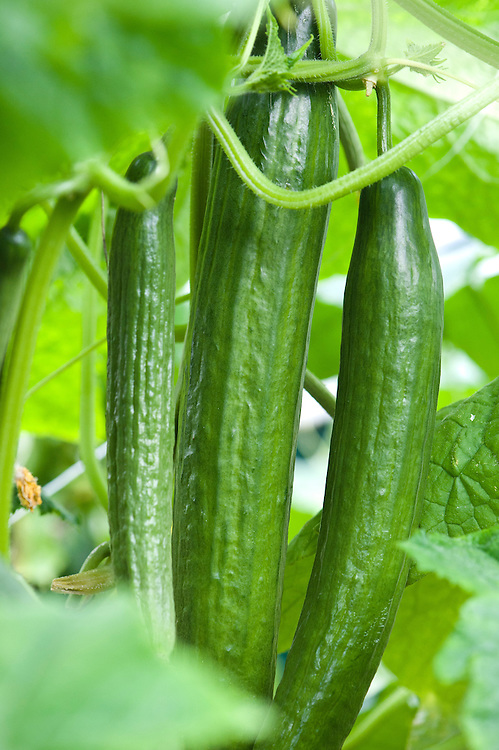 Cucumber 'Carmen', greenhouse, early September. An all-female F1 hybrid often grown for exhibition.