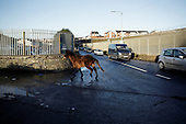 "Dublin, Ireland, January 6, 2011:.Homeless horse on the street in Finglas estate. .Since the beginning of crisis, between 10 and 20 thousand horses have become homeless or went in the hands of the youths in urban areas. Lots of Irish people who used to buy horses for fun during the boom years of ""Celtic Tiger"", now are abandoning them faced with expenditure of 35 Euro a week to properly maintain a horse. This animal previously worth 2000 Euro now can be purchased for as little as 80 Euro. New owners keep their horses in city greens, city ruins, or their house gardens, in very bad conditions. Most do not get much food, many are starving, dying, being mistreated..(Photo by Piotr Malecki / Napo Images)..Dublin, Irlandia, 6/01/2011:.Bezdomny kon na ulicy w dzielnicy Finglas..Od poczatku kryzysu od 10 do 20 tysiecy koni zostalo wyrzuconych na ulice przez wlascicieli nie chcacych placic okolo 35 Euro/tydzien za ich utrzymanie. Wpadaja one czesto w rece mlodziezy z ubogich dzielnic miasta, ktora handluje nimi, bije, glodzi, trzyma w skrajnie trudnych warunkach, w przydomowych ogrodkach lub ruinach budynkow i szaleje na nich po miescie. Kon, ktory byl wart 2000 Euro teraz moze byc kupiony za 80. .Fot: Piotr Malecki / Napo Images."