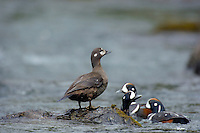 Harlequin Ducks (Histrionicus histrionicus) along fast flowing mountain stream.  Pacific Northwest.  Spring.