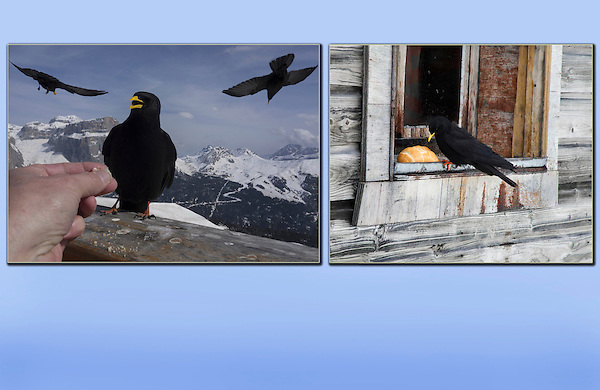 Italy, Dolomites.  'Wildlife'<br /> Depth of field afforded by a wide-angle lens let's you get in close and still have sharp images. The photographer providing lunch at Col Rodella Ski Area (left). <br /> On the right, a raven is 'framed' while  lunching at a hut above Chamonix, France.