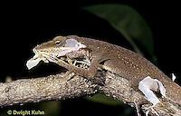 1R06-009z  Green Anole - shedding skin in a molt - Anolis carolinensis