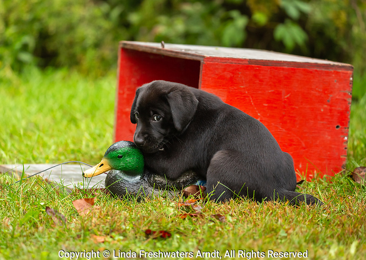 Black Labrador retriever puppy looking guilty as he plays with a duck decoy.