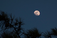 The waxing gibbous moon shines in the sky above the trees at Marina Park on San Francisco Bay.