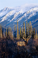 Rocky Mountain Elk (Cervis elaphus) bull, Northern Rockies.  Late Fall.