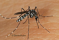 "1016-07oo  Asian Tiger Mosquito - Aedes albopictus ""Invasive and aggressive species""  © David Kuhn/Dwight Kuhn Photography"