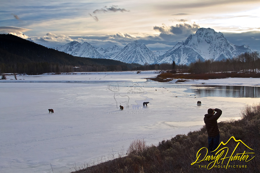 Photographer, Grizzly 610 and cubs, Grand Teton National Park