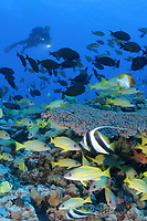 corals and fishes with diver, French Frigate Shoals, Papahanaumokuakea Marine National Monument, Northwestern Hawaiian Islands, Hawaii, USA, Pacific Ocean