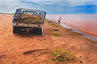Old woman collecting dulce (seaweed) on shore of Northumberland Strait<br /> Skinners Pond<br /> Prince Edward Island<br /> Canada