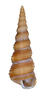 tower shell<br /> Turritella communis