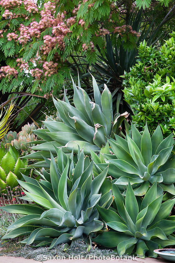 Succulents, Agave attenuata, under mimosa tree in California garden