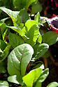 Swiss chard 'Pink Lipstick', pot-grown for salad leaves.