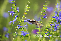 01162-15206 Ruby-throated Hummingbird (Archilochus colubris) at Blue Ensign Salvia (Salvia guaranitica ' Blue Ensign') in Marion County, IL