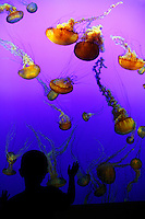 A boy views the living jellies art exhibit at The Monterey Bay Aquarium, Monterey, California