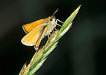 Small Skipper Butterfly, Thymelicus sylvestris, on grass seed head.United Kingdom....
