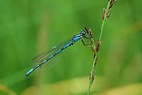 Sibirische Azurjungfer, Bileks Azurjungfer, Bileks-Azurjungfer, Männchen, Coenagrion hylas, Siberian Bluet, male, Agrion de Frey