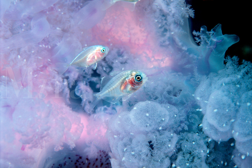 Jellyfish, Cephea cephea, with juvenile jacks ( Caranx sp . ), Fiji, Indo-Pacific Ocean