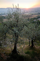 Olive trees overlooking the Spoleto Valley at 'I Cerri' Watch-tower, Umbria, Italy