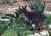 Stock image of silver Bennett wallaby looking over from shrubs in Paphos animal park, Cyprus.<br />