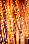 Purple and gold abstracts of river reeds with diagonal motion