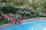 Rose Garden by Swimming Pool, Dainty Bess in back, Crystalline and Magic Carousel on right, Marchenese of Lorne by water, Bakersfield, CA USA