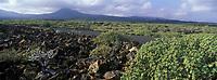 Europe/Espagne/Canaries/Lanzarote/Env de Jameos del Agua : La végétation et les volcans