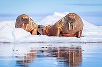 Atlantic walrus, Odobenus rosmarus rosmarus, resting on ice floe, Lagoya, Svalbard, Norway, Atlantic Ocean
