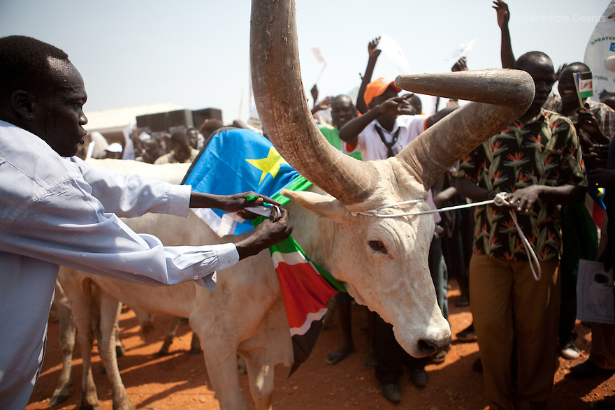 9 december 2010 - Juba, South Sudan - A Southern Sudanese man prepares a bull to be slaughtered in a ritual for a peacefull separation during a rally in support of the independence referendum in Juba, South Sudan. According to South Sudanese officials, more than 2.8 million people have registered to vote in the referendum. The referendum on whether the oil-producing region should declare independence, scheduled for Jan. 9, is the climax of a 2005 peace deal that ended decades of north-south conflict - Africa's longest civil war that was fought over ethnicity, religion, ideology and oil and that killed 2 million people. Photo credit: Benedicte Desrus