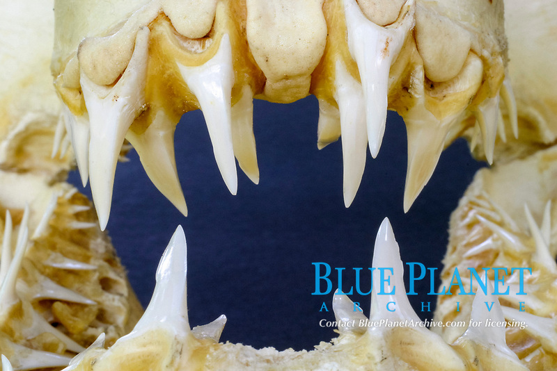 Mako Shark (Isurus oxyrinchus) Showing close up image of teeth.