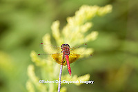 06664-001.13 Band-winged Meadowhawk (Sympetrum semicinctum) male perched near wetland, DuPage Co., IL