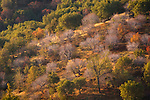 Morning light on trees in the foothills of the western slope of the Sierra, Fresno County, California