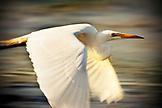 USA, California, snowy egret in flight, Richardson Bay, Tiburon