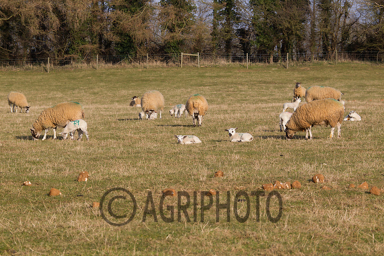 Ewe's and Young Lambs out on grass..Picture Tim Scrivener date taken 2nd March 2013.Mobile 07850 303986 e-mail tim@agriphoto.com.          ?.covering agriculture in the Uk?....