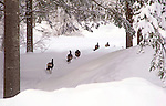 A Flock of Turkeys Trotting through the Snow down to the River