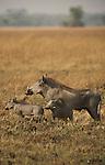Plaines de Busanga dans le parc national de Kafue. Zambie.Warthog phacochoerus africanus phacochère