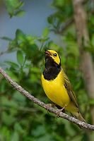 591920009 a wild male hooded warbler setophaga citrina - was wilsonia citrina - sings or vocalizes to defend its territory while perched on a dead branch in hardin county texas united states
