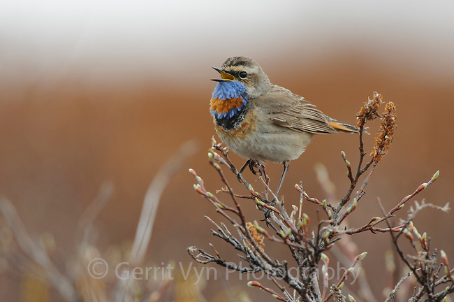 Adult male Bluethroat (Luscinia svecica) in breeding plumage singing from a spring willow. Seward Peninsula, Alaska. June.
