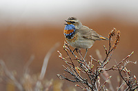 Adult male Bluethroat (Luscinia svecica) in breeding plumage singing from a spring willow. Seward Peninsula, Alaska. June.