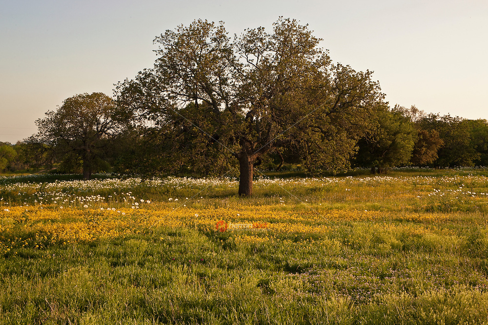 White Prickly Poppy and yellow wildflowers surround a large Texas Live Oak in Texas Hill Country in Llano County, Texas, USA